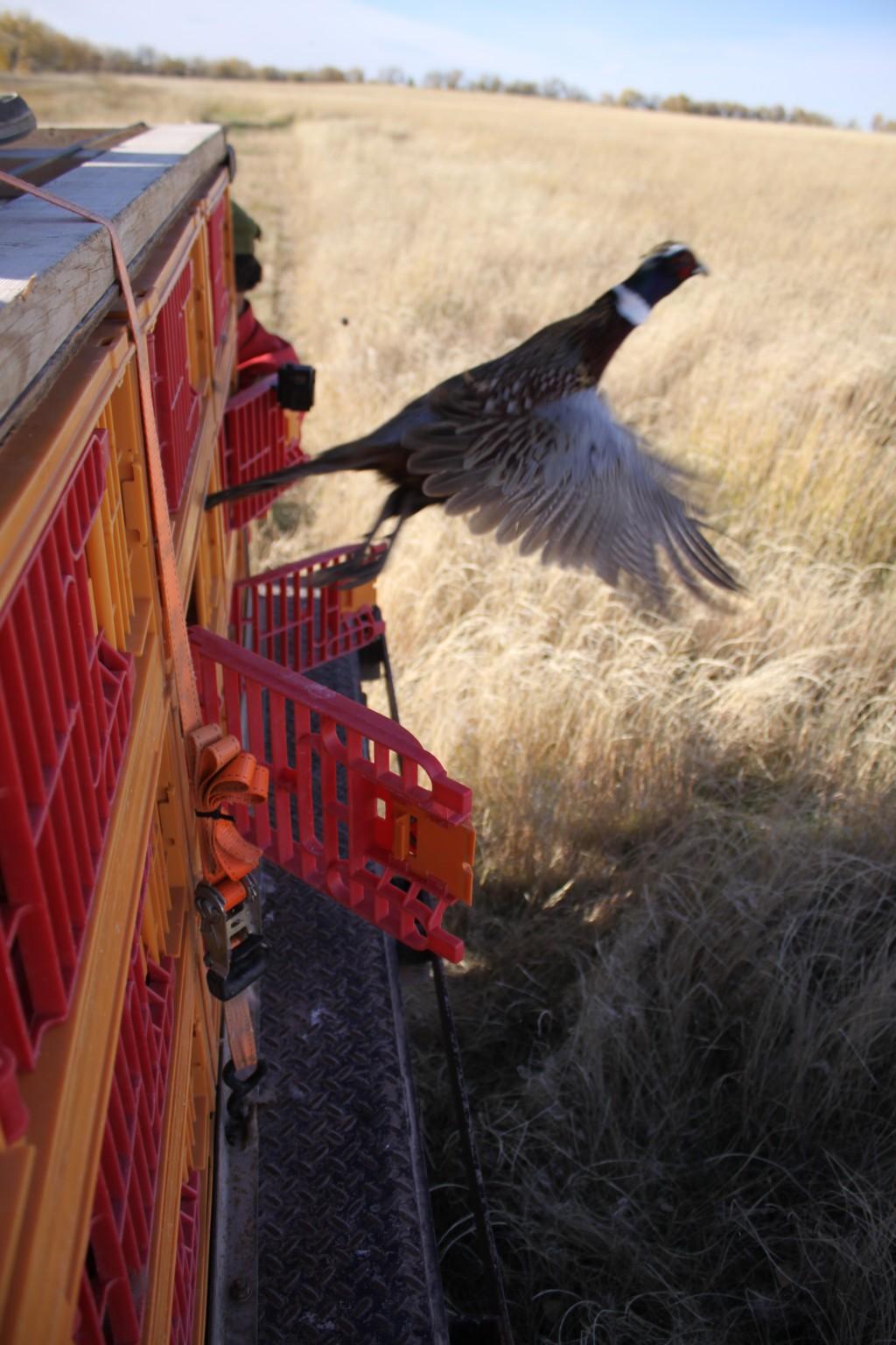 The Torrington Telegram   WYGFD to stock thousands of pheasants in Goshen County